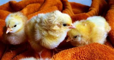 Ab sofort bietet Rewe deutschlandweit Eier ohne Schnabelkürzen und Kükenschreddern an
