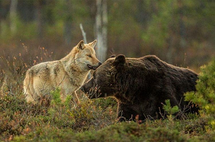 Quelle und Urheber: Lassi-rautiainen/ WildFinland via http://www.articmedia.fi/