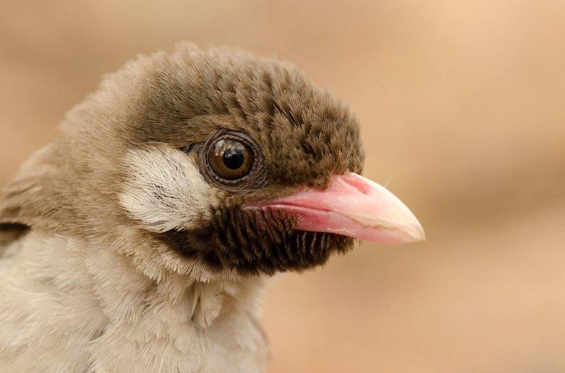 Honiganzeiger - Ein Vogel hilft den Yao bei der Suche nach Honig | Bilderquelle: Claire Spottiswoode