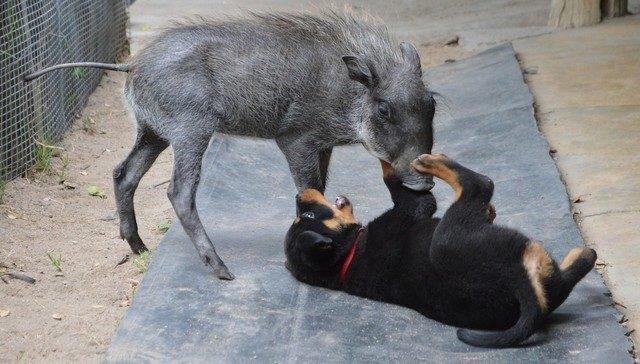 Warzenschwein und Hunde - Freunde | Quelle: http://www.daktaribushschool.org/