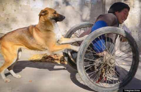Du kannst dir nicht vorstellen wie liebevoll dieser Hund seinem querschnittsgelähmten Herrchen hilft