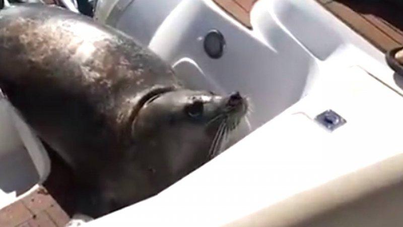 Robbe rettet sich vor Wale auf Boot | Foto: YouTube