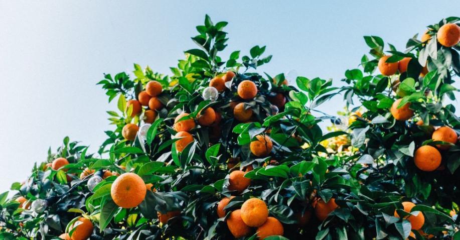 So werden brach liegende Orangenplantagen wieder genutzt