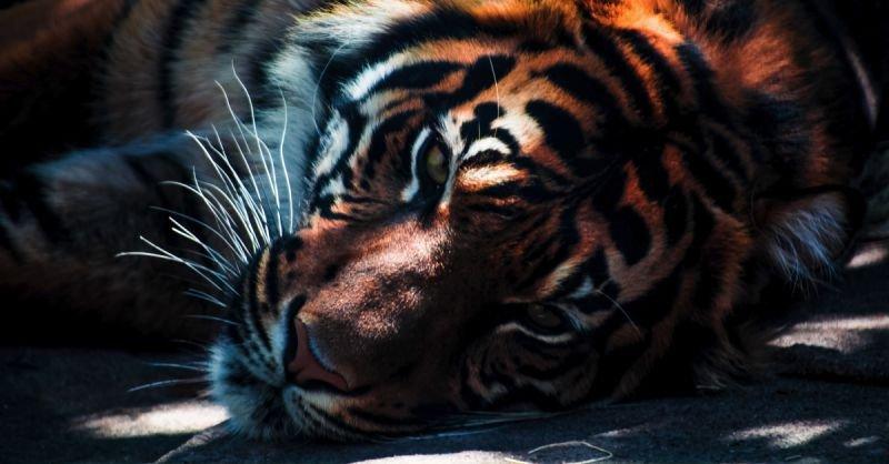 Tiger Bestand erholt sich | Bilderquelle: Unsplash.com | by Edewaa Foster