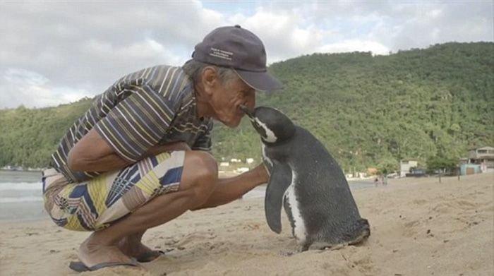 Pinguin schwimmt jedes Jahr 8000 Kilometer um den Mann zu besuchen, der ihm das Leben rettete
