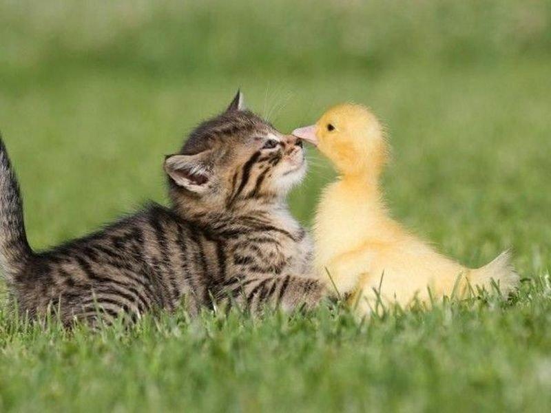 Küken - Ungewöhnliche Freundschaften aus dem Tierreich