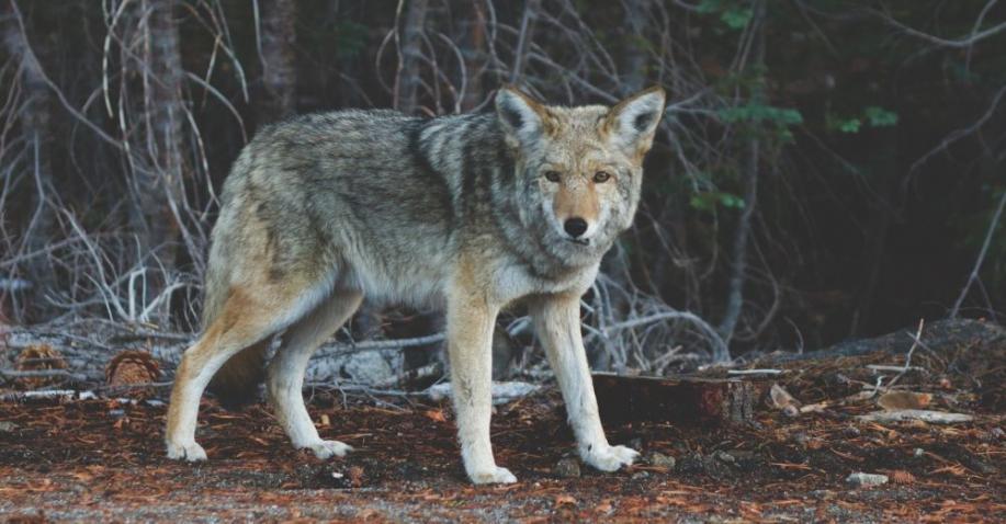Die Freilassung von 14 Wölfen im Yellowstone Nationalpark löste unglaubliche Veränderungen aus (Video)