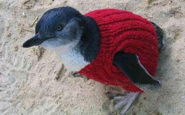 Der älteste Mann Australiens strickt Pullover für Pinguine und rettet so die süßen Tiere vor Umweltkatastrophen